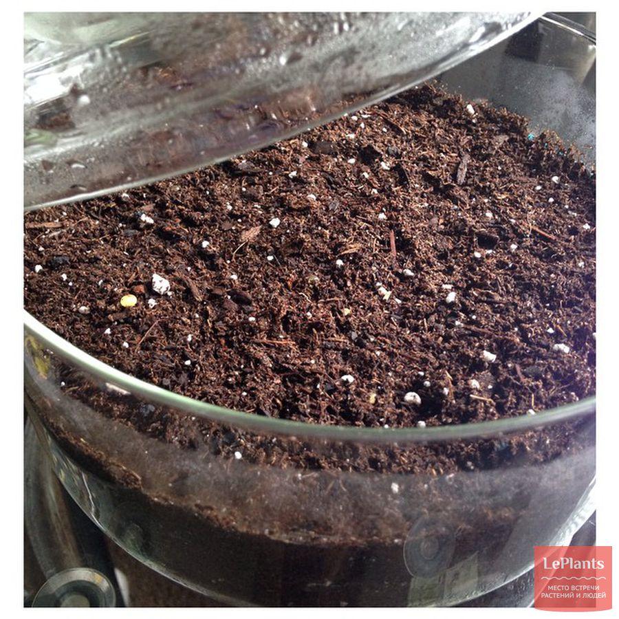 выращивание мини-синнингии из семян