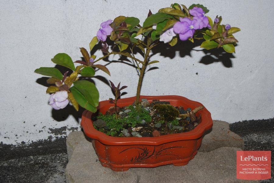 Брунфельсия малоцветковая бонсай