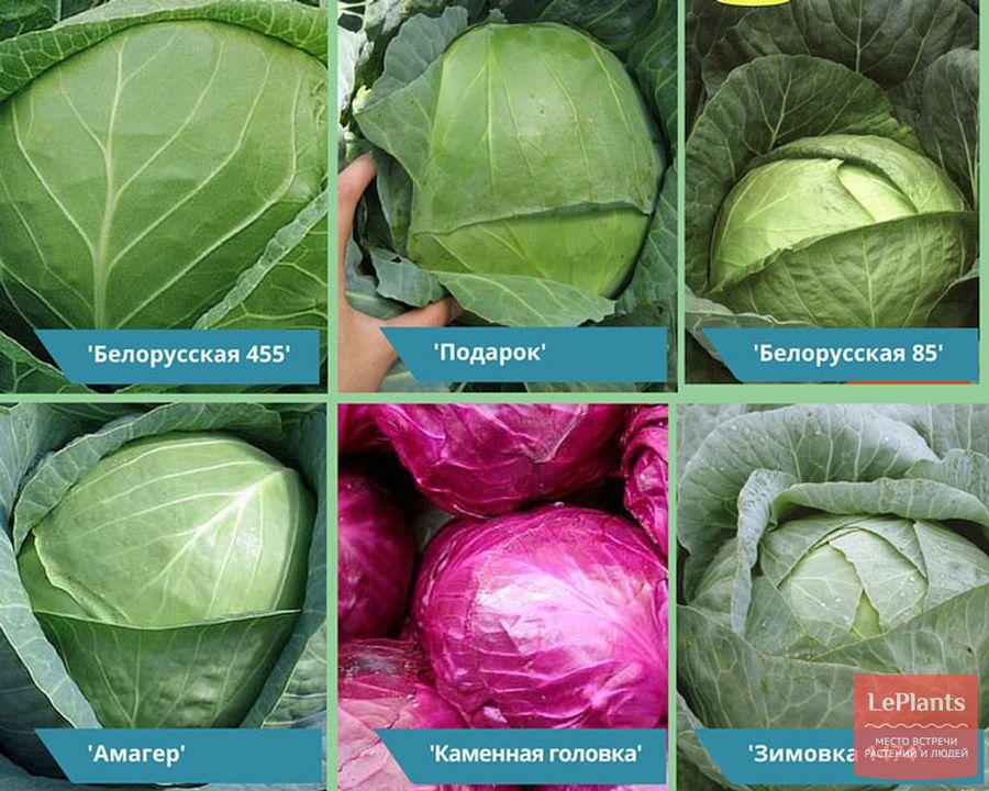 популярные зимние сорта капусты