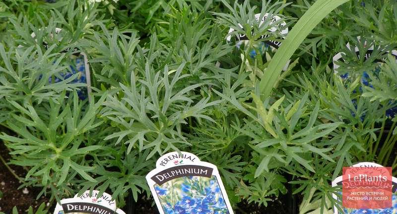 Дельфиниум — выращивание из семян и уход в открытом грунте