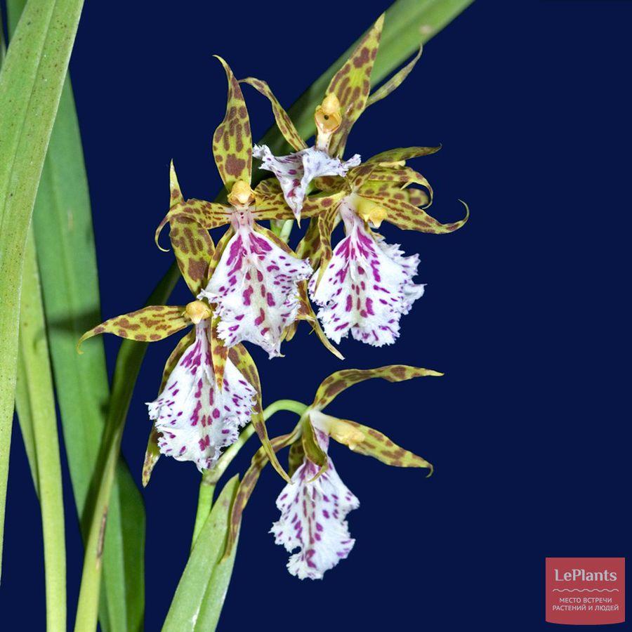 Цветы Онцидиума тенуоидес