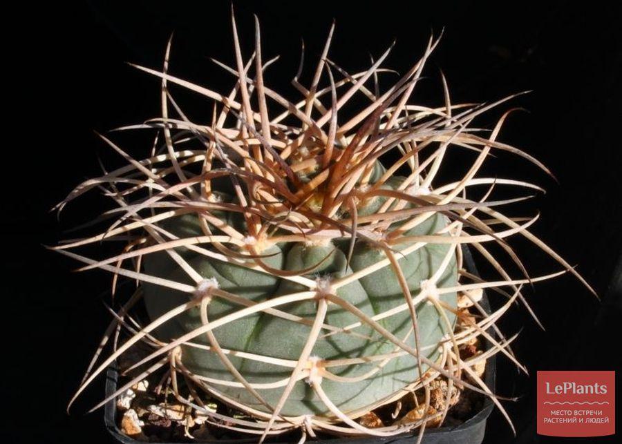 Gymnocalycium spegazzinii subs. cardenasianum