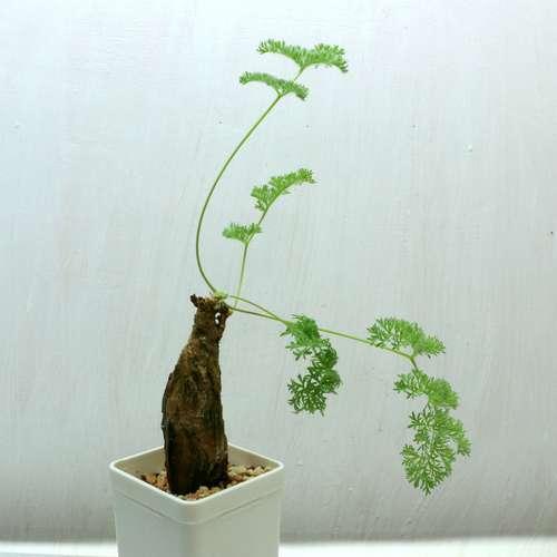 Pelargonium triste