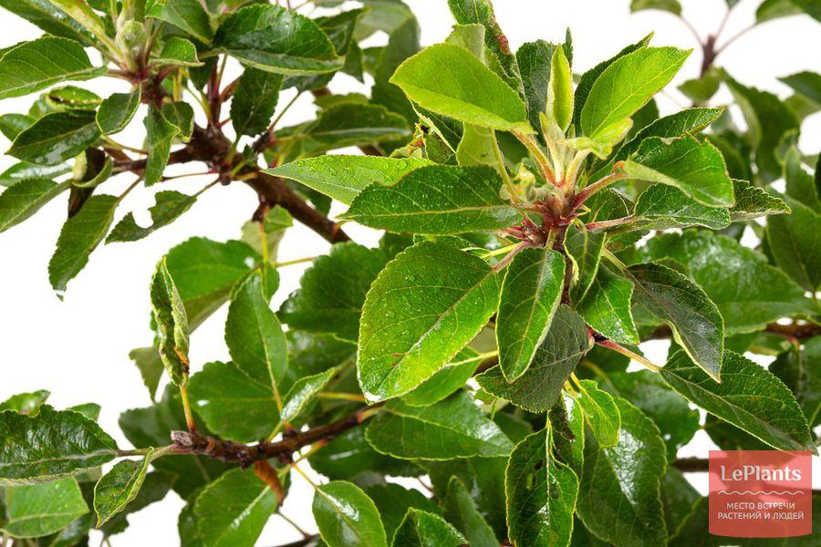 Листья яблони домашней