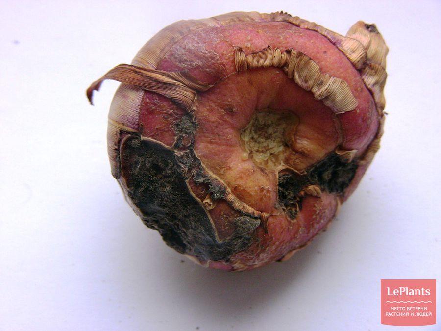 гладиолусы — посадка и уход в открытом грунте весной без парши