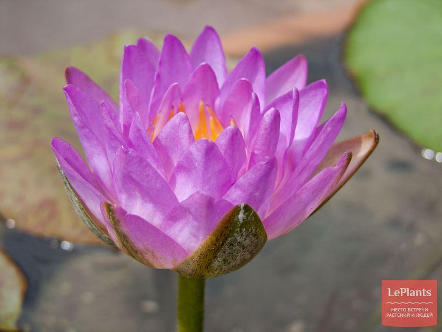 как ухаживать за цветущей нимфеей
