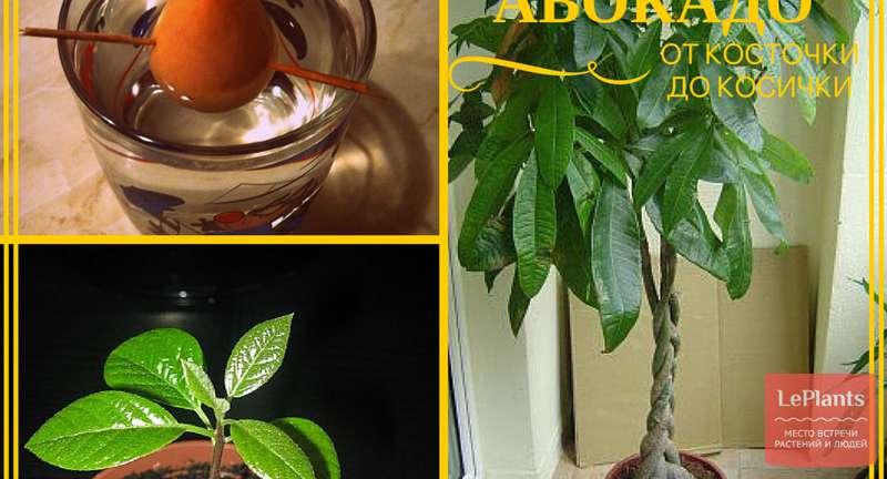Самый простой способ выращивания авокадо из косточки