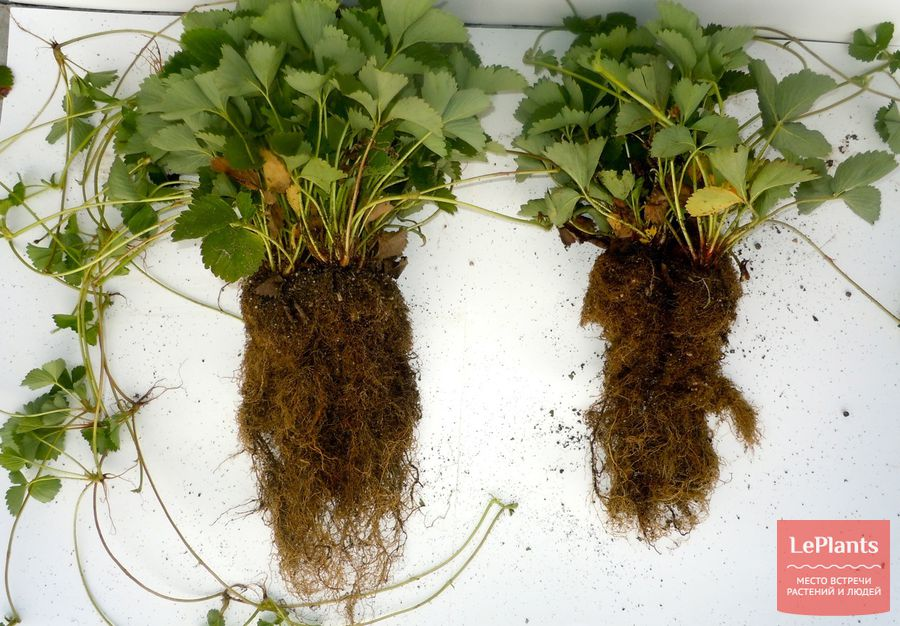 микориза у садовой земляники