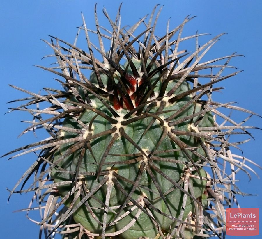 Gymnocalycium cardenasianum cv. Japanese Selection