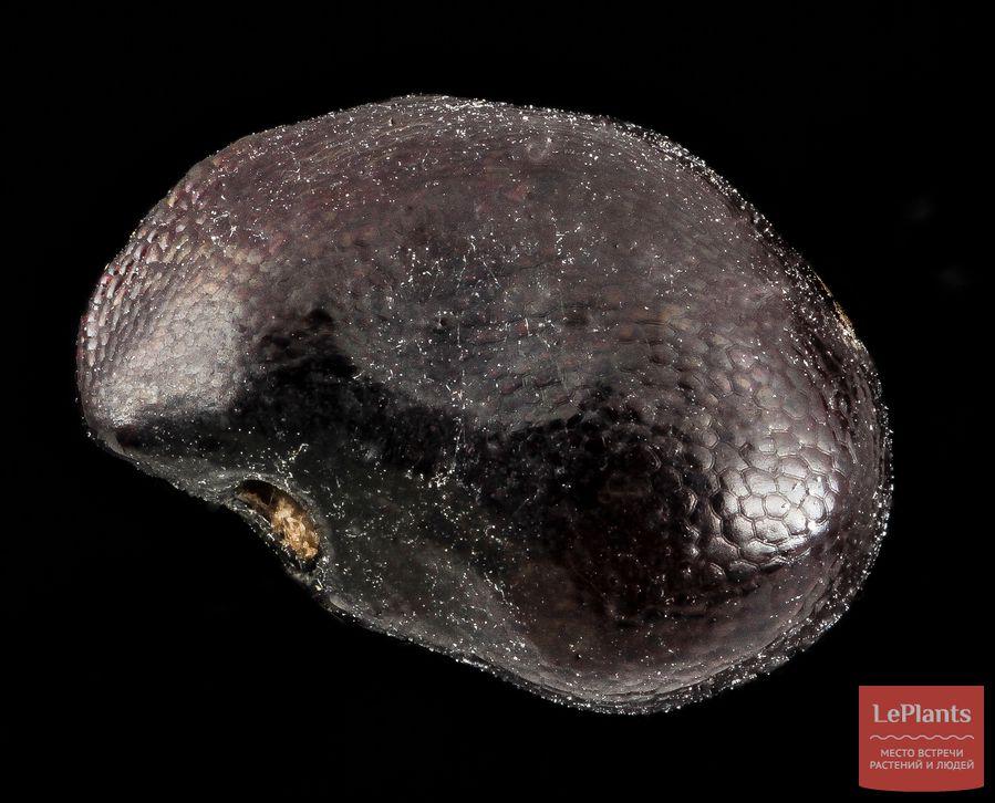 Семена Эхинокактуса многоголового