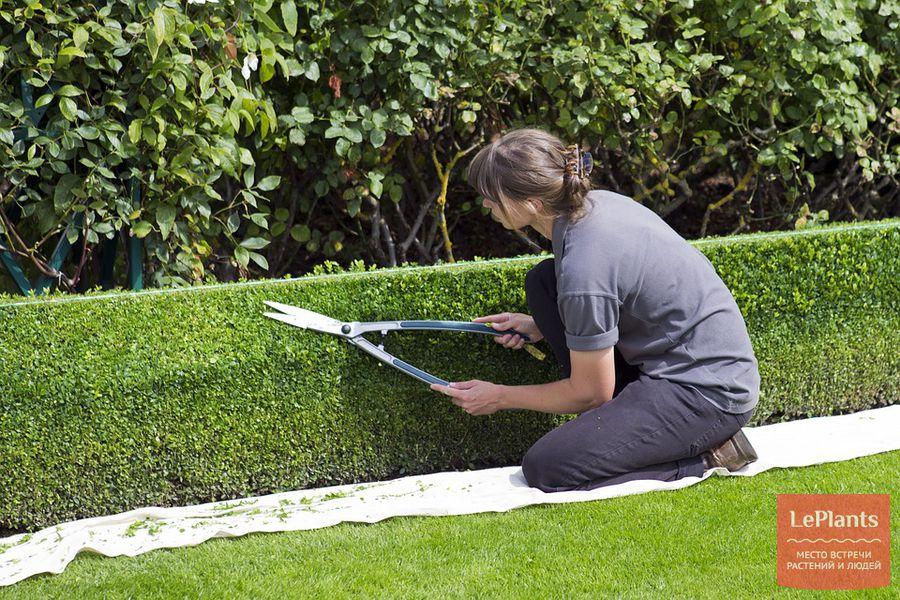 зеленая изгородь своими руками
