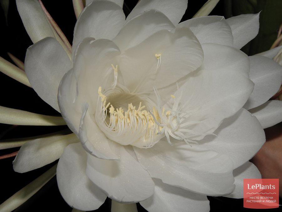цветок Эпифиллумf угловатjuj