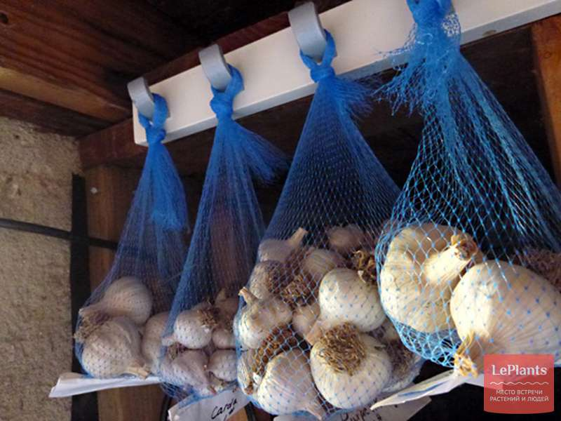 Как сохранить на зиму чеснок в соли