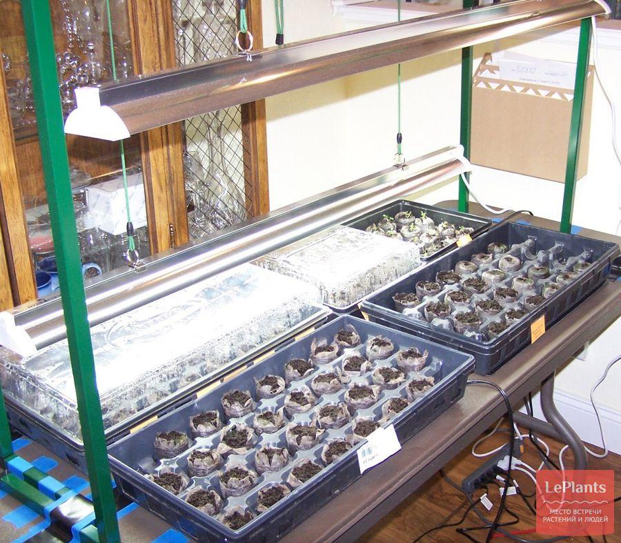 Выращивание петуниишаг за шагом