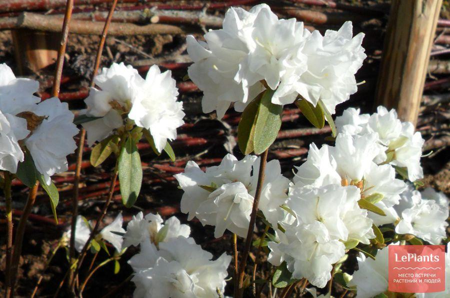 выращивание рододендрона даурского