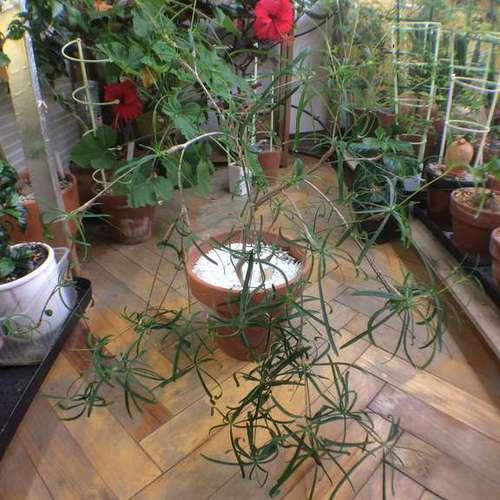 Euphorbia hedyotoides Эуфорбия