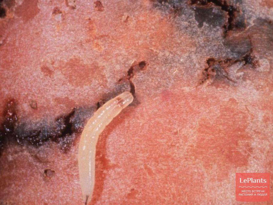 Личинка морковной мухи