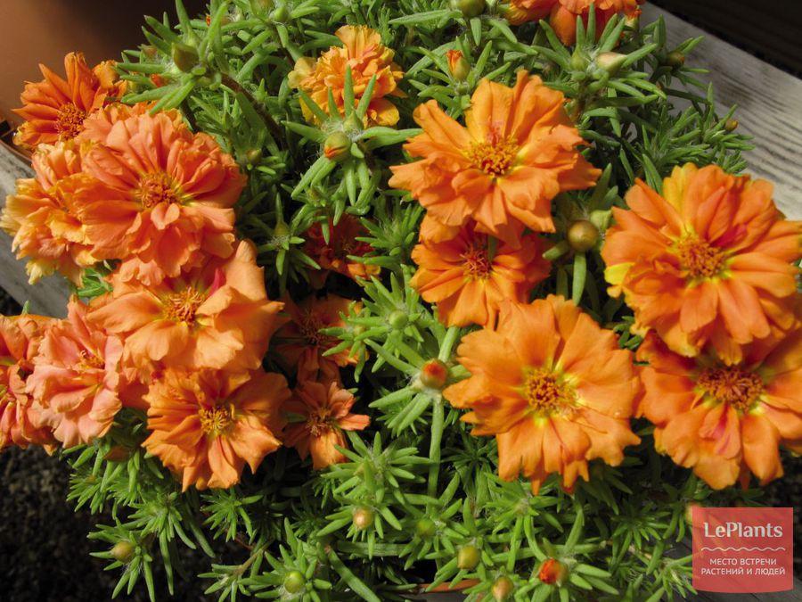 выращивание портулака крупноцветкового