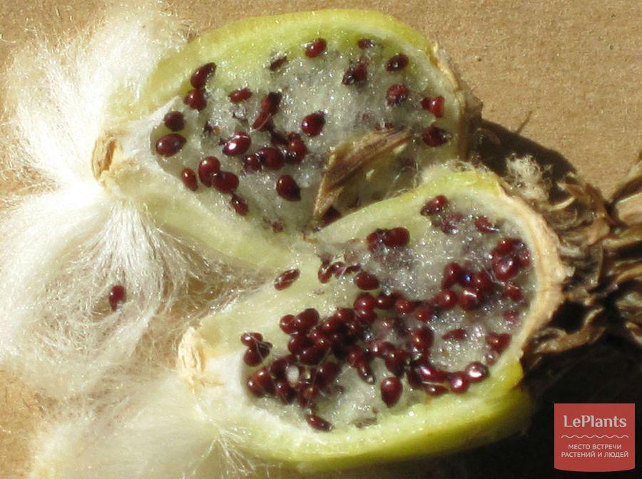 Семена Эхинокактуса