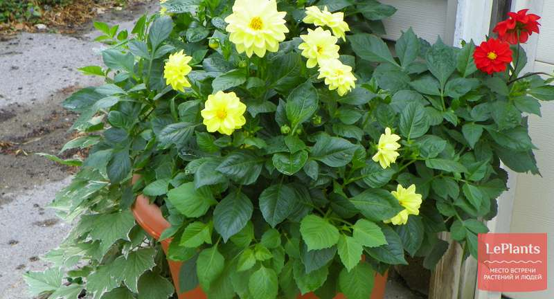 Однолетние георгины: выращивание, правила ухода, основные сорта
