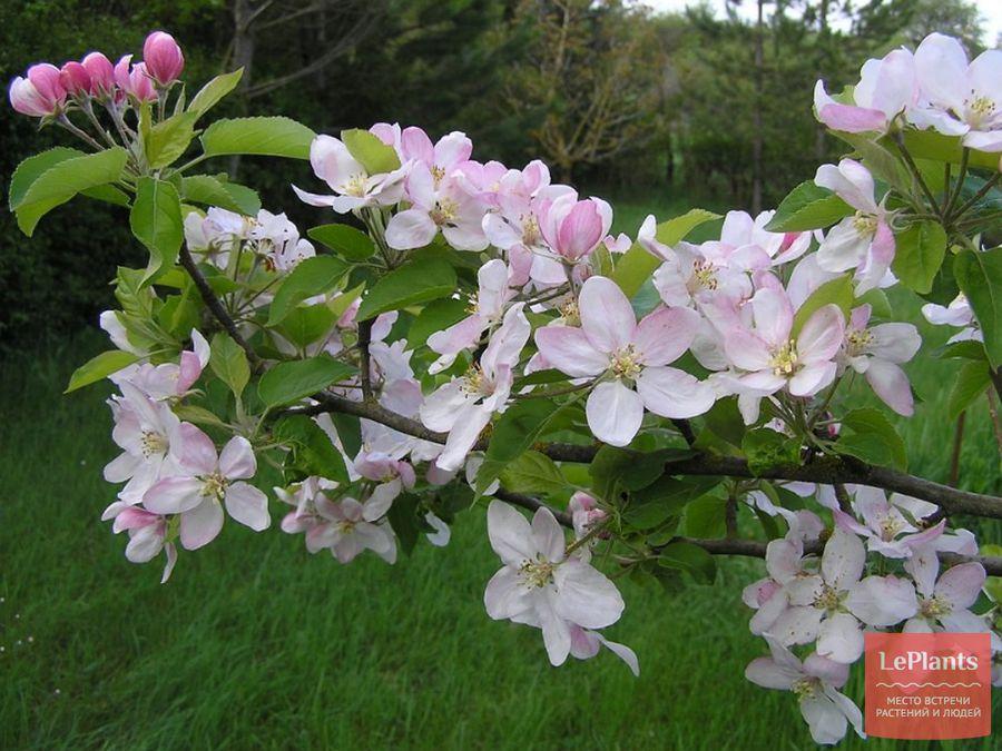 Цветки яблони домашней