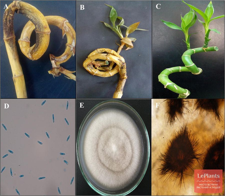 выращивание драцены брауна без антракноза