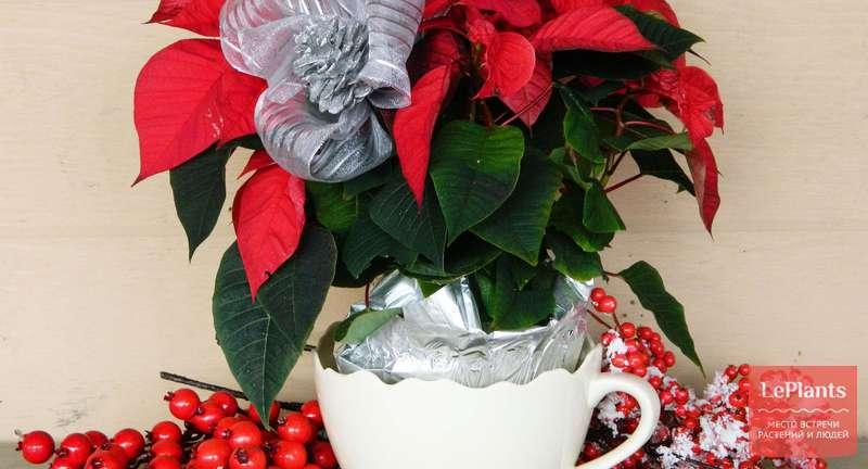 Как сохранить «новогодние» растения после завершения праздника?