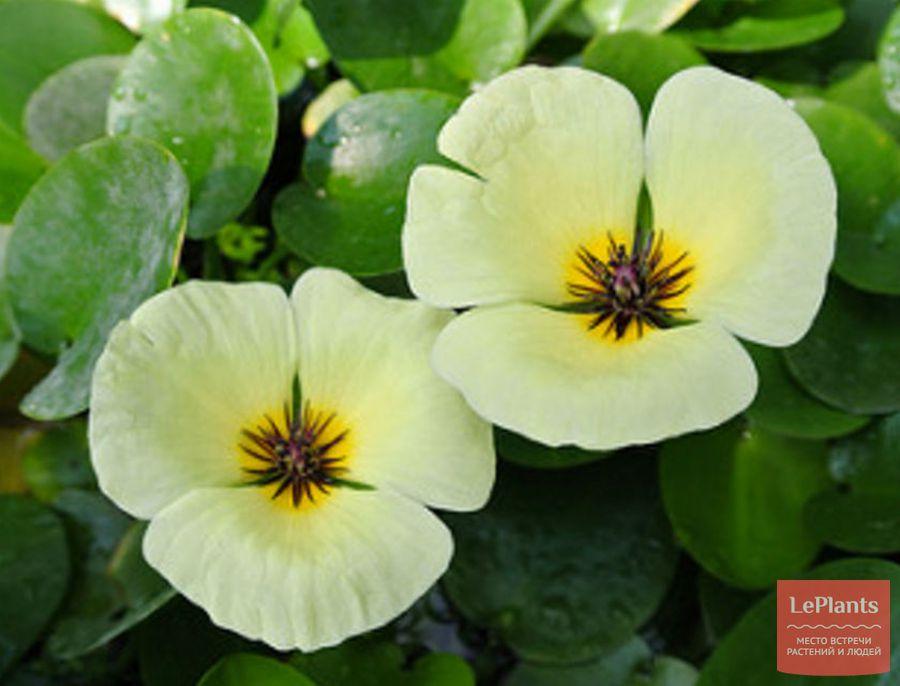 цветущий гидроклейс