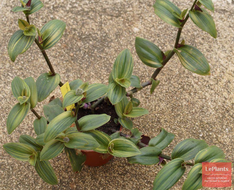 выращивание сорта традесканции восковницевидной вариегата