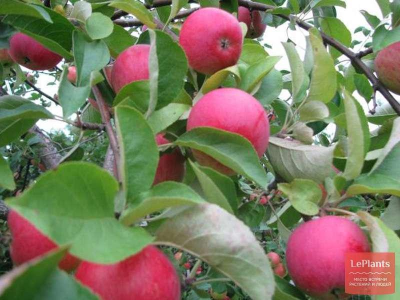 саргсян яблоня веньяминовское характеристика сорта фото чувством тот