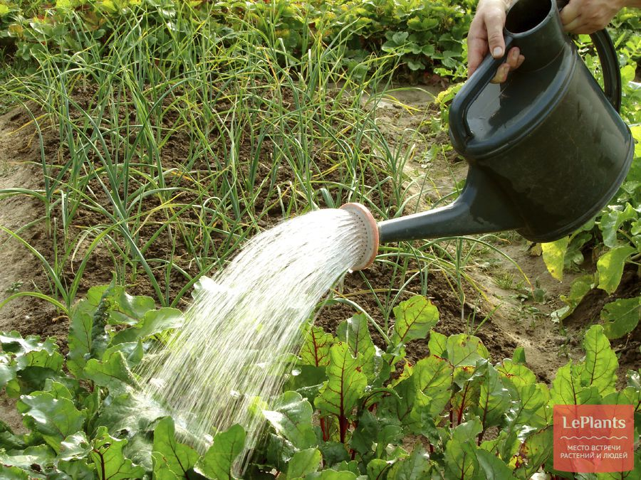 свекла выращивании на даче или огороде что любит свекла как получить хороший урожай