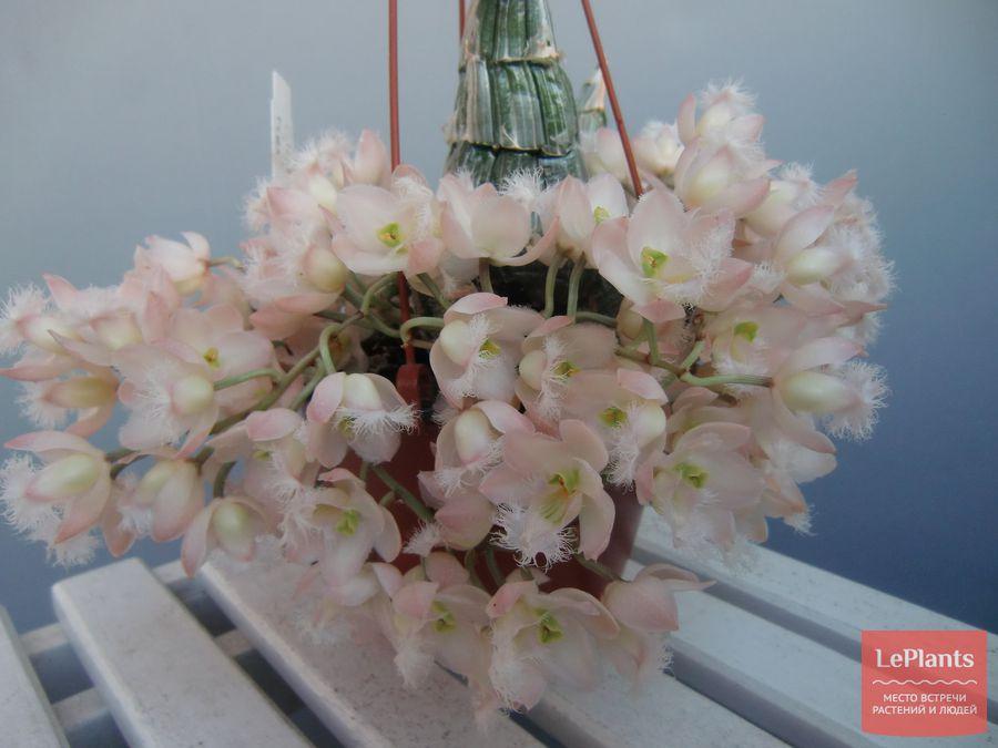 Кловезия розовая
