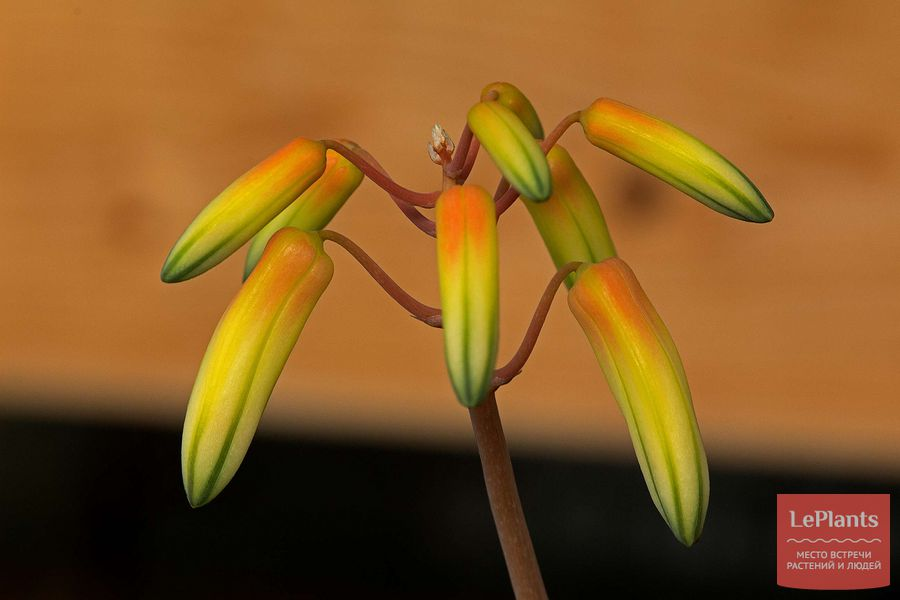 Цветы Алоэ Бейкера