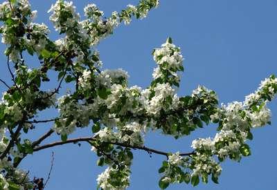 Яблоня мелкоплодная