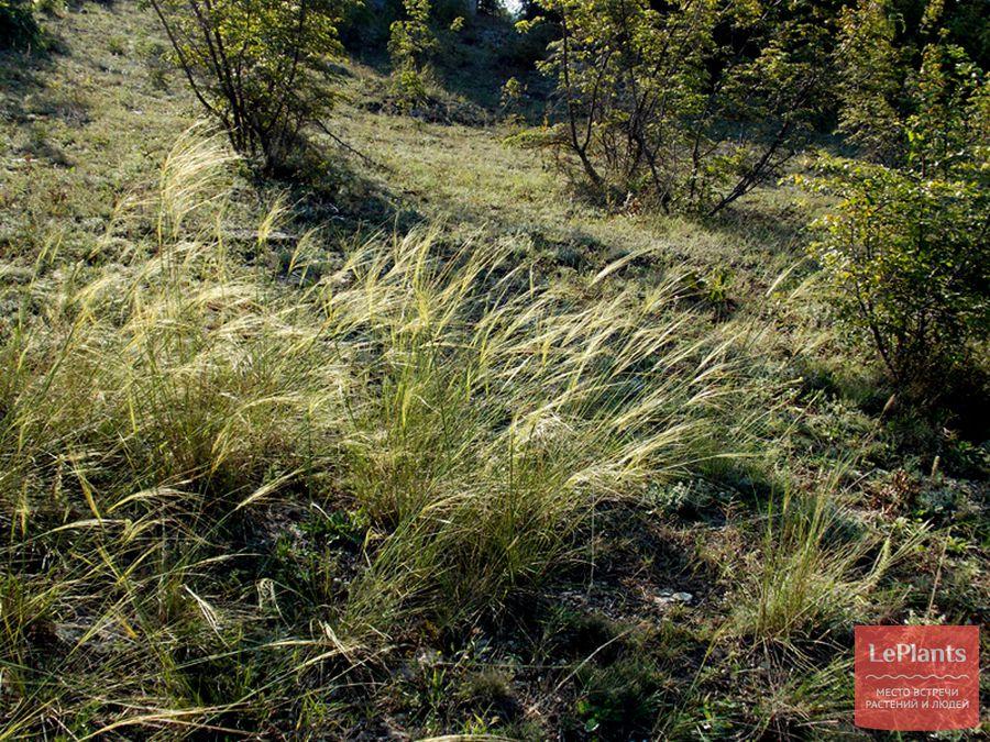 как ухаживать за газонным ковылем