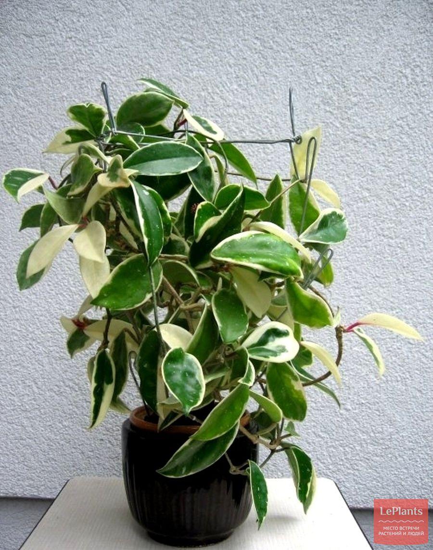 Hoya carnosa cv. Krimson Queen