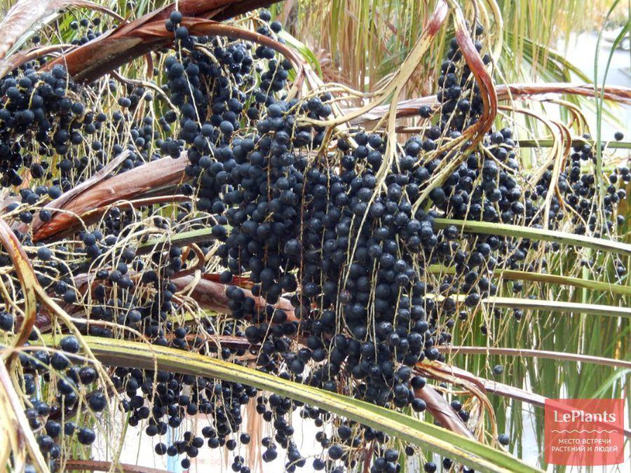 Плоды Ливистоны южной