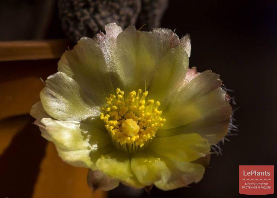 Пуна булавовидная цветет