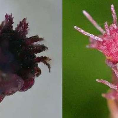 Обнаруженное в тропических лесах Якусимы подземное растение использует грибную микоризу как источник питания