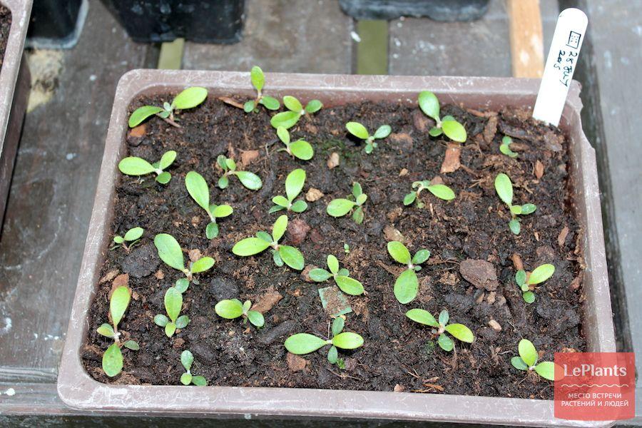 как выращивать рододендрон из семян