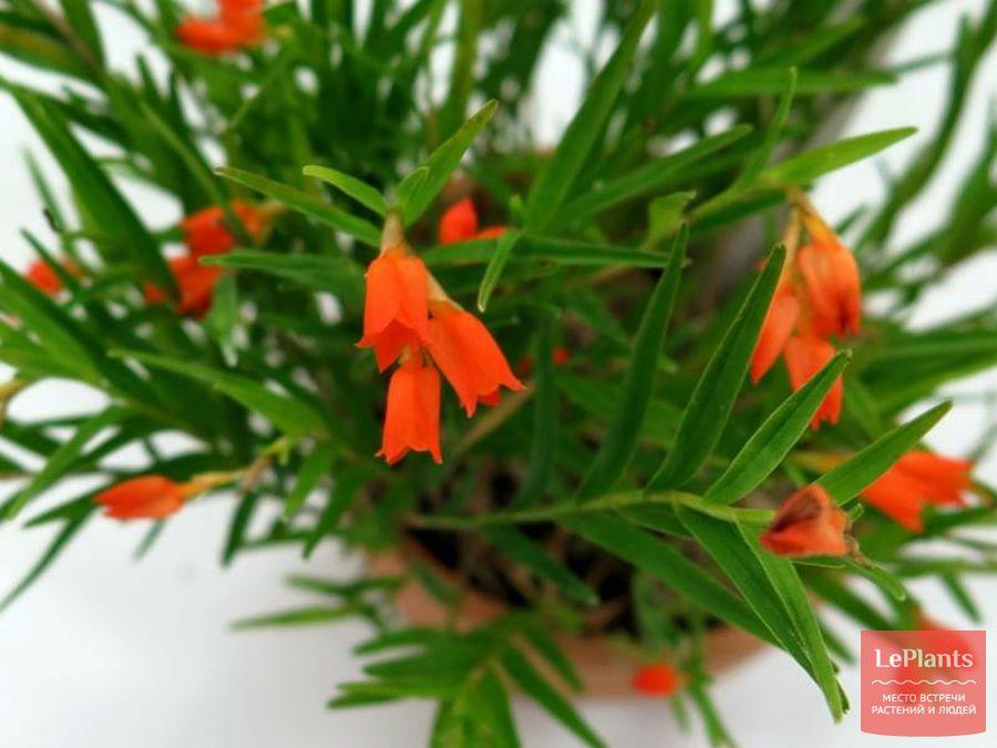 Изохилус оранжевый