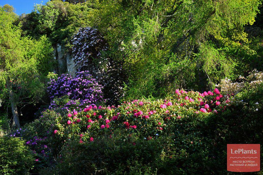 как ухаживать за рододендроном в саду
