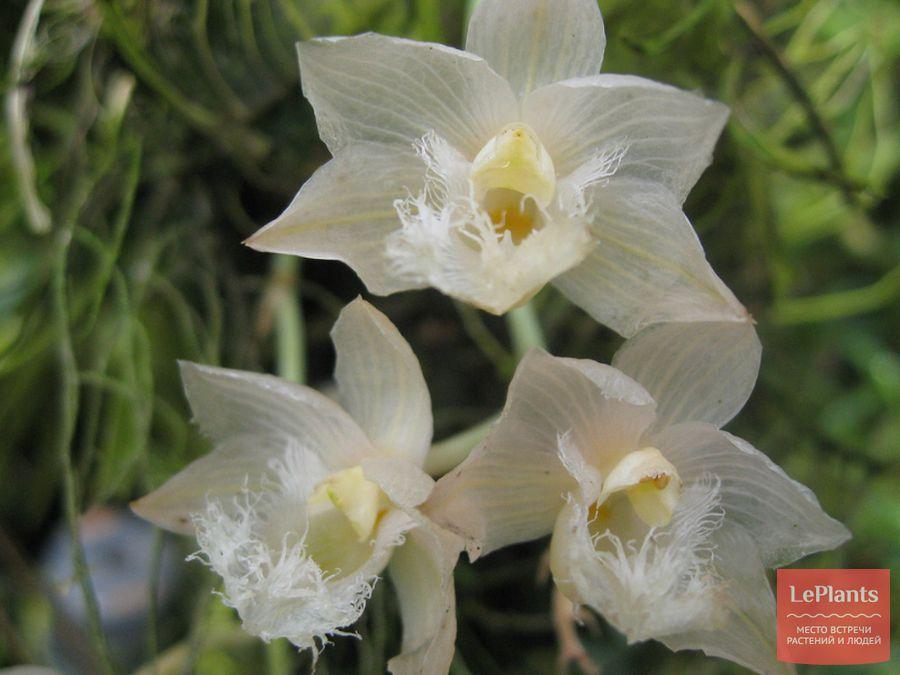 Цветы Кловезии