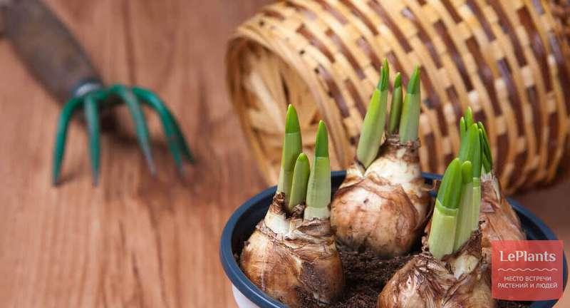 Особенности выращивания южноафриканских луковичных