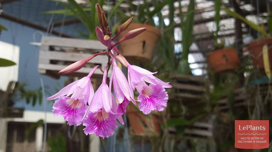 Myrmecophila galeottiana
