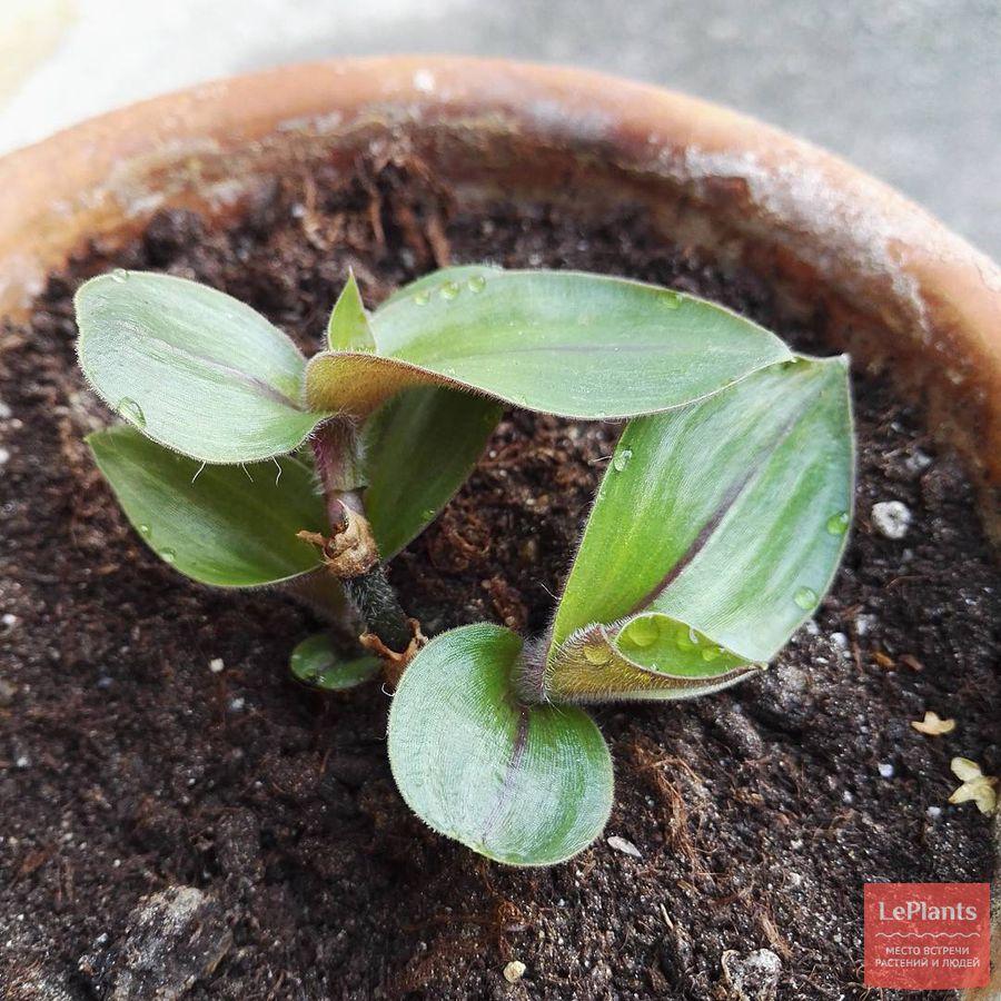 выращивание и размножение традесканции восковницевидной
