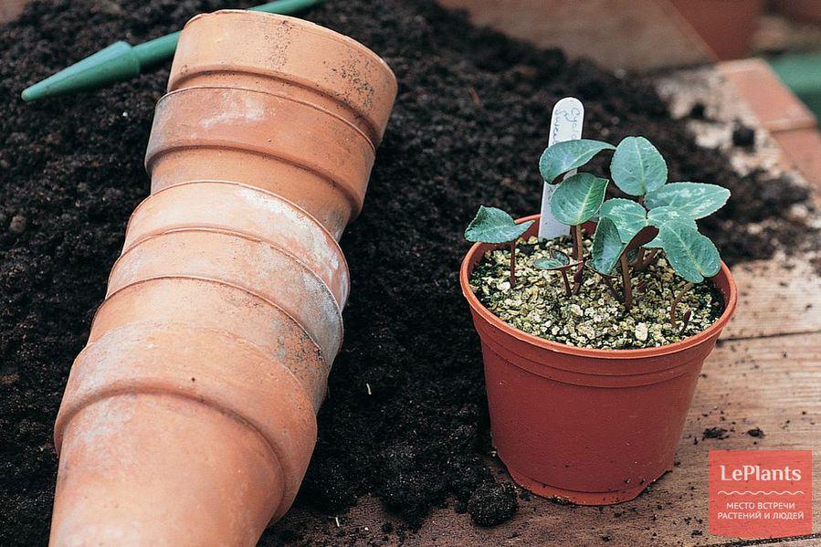 выращивание цикламена из семян