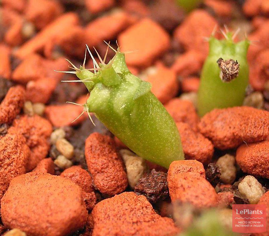 Сеянцы Euphorbia actinoclada