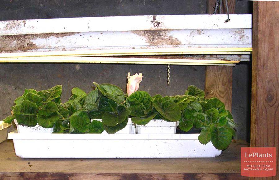 как выращивать глоксинию