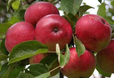 Яблоня 'Лобо'